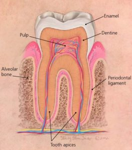 diagram showing the apices of a healthy tooth